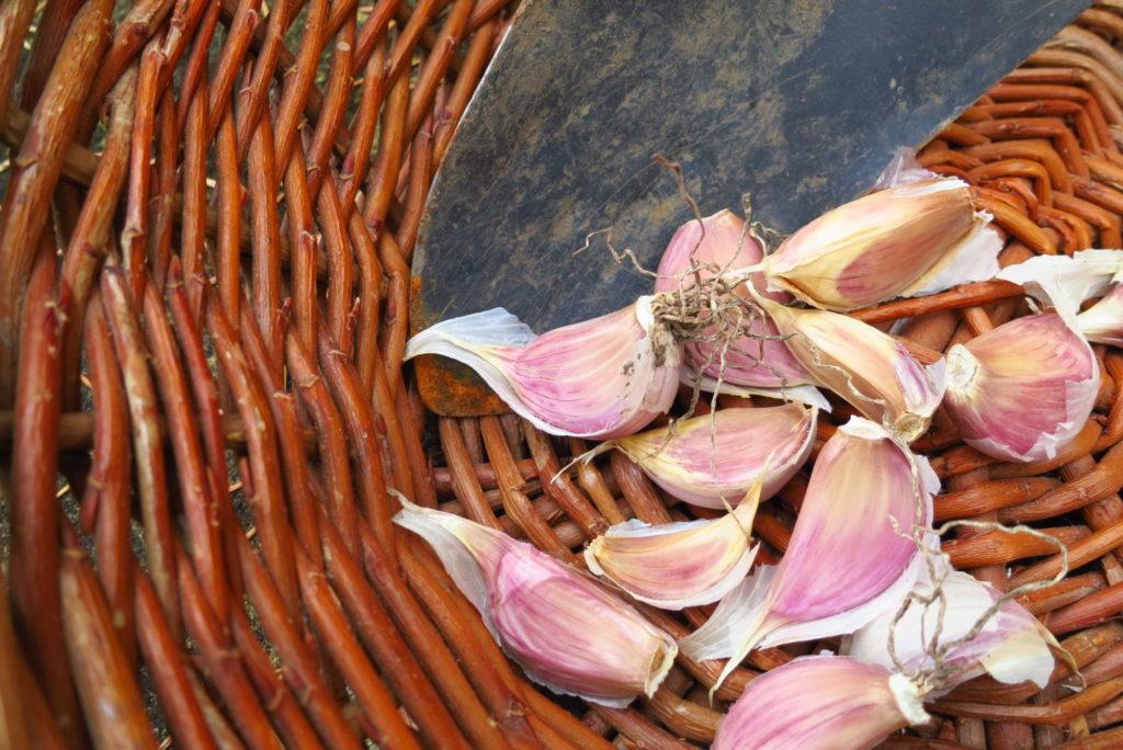 podzimní výsadba česneku